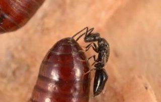 Fly Parasite