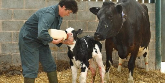 Measure that Colostrum