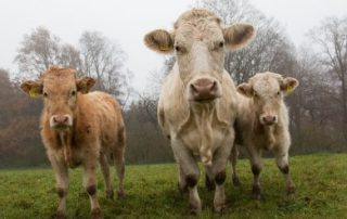 TB Testing Update - Beef Cows