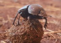 African Dung Beetle