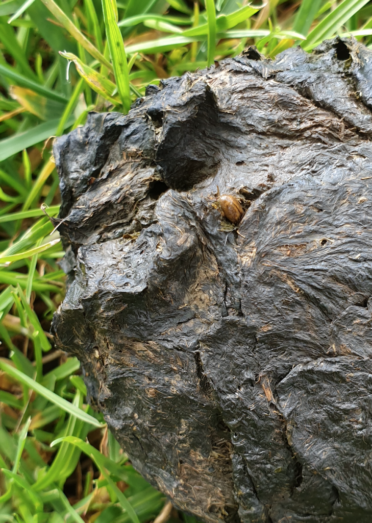 Dung Beetles in the UK