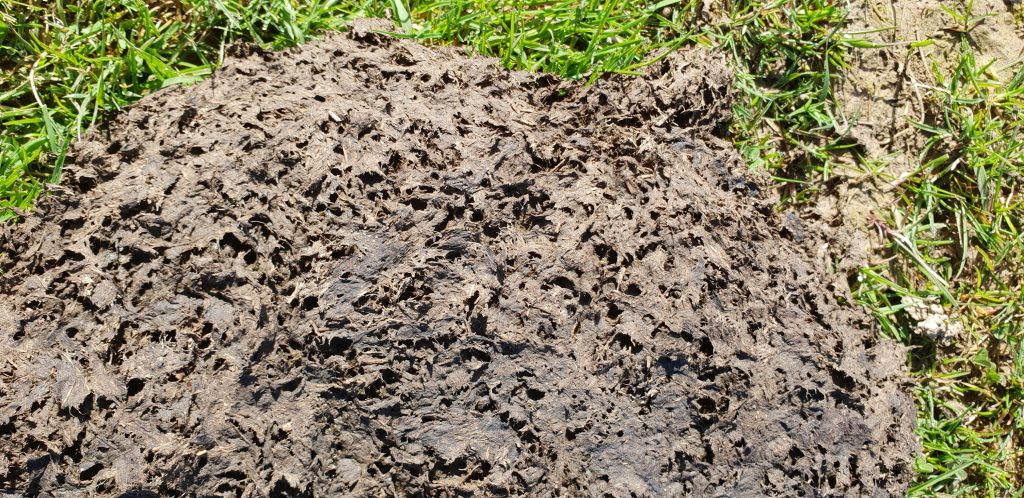 Dung beetles at work on UK pasture