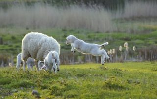 Twin Lamb Disease