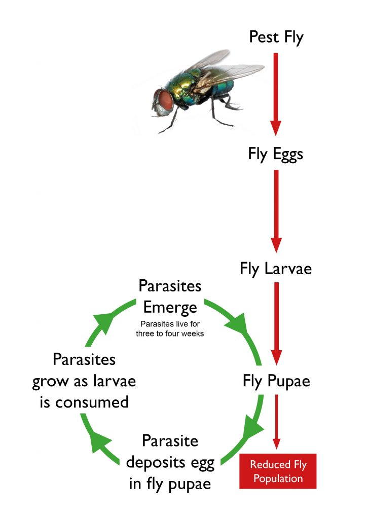 alternative to chemical fly control - fly parasites