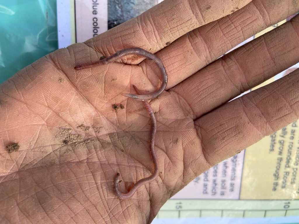 Soil Health - Epigeic Earthworm
