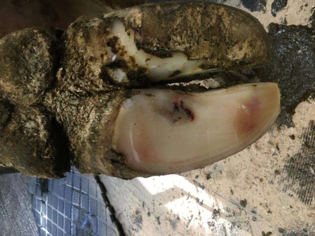 Abscess - The Cost of Lameness