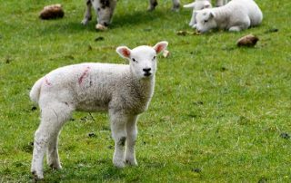 Coccidiosis in Lambs