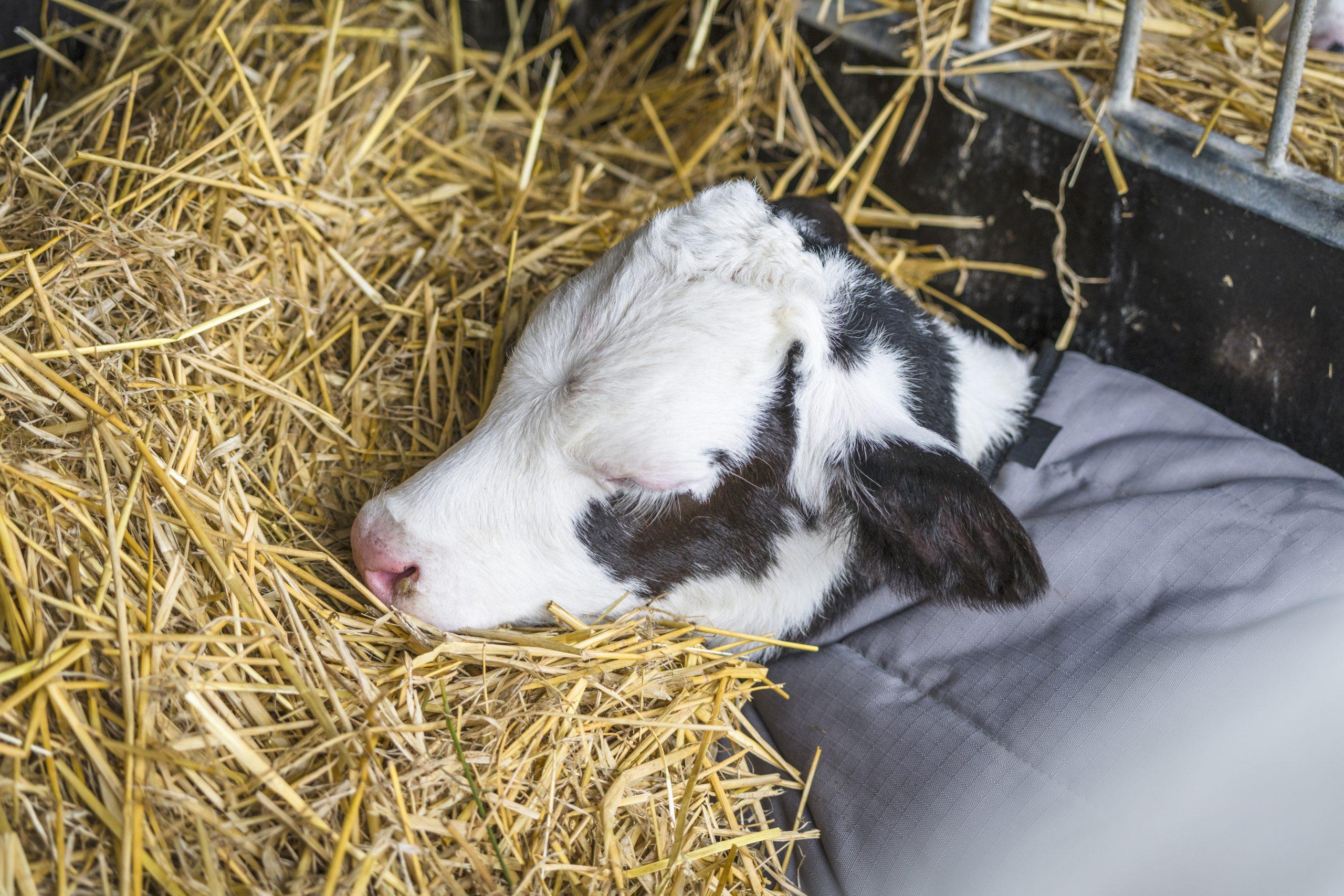 Healthy Calf