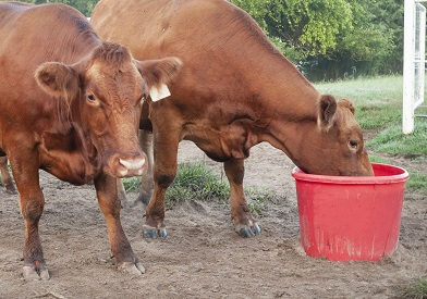 Trace Elements in cattle